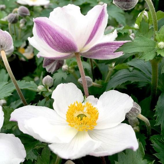 Anemone Elfin Swan
