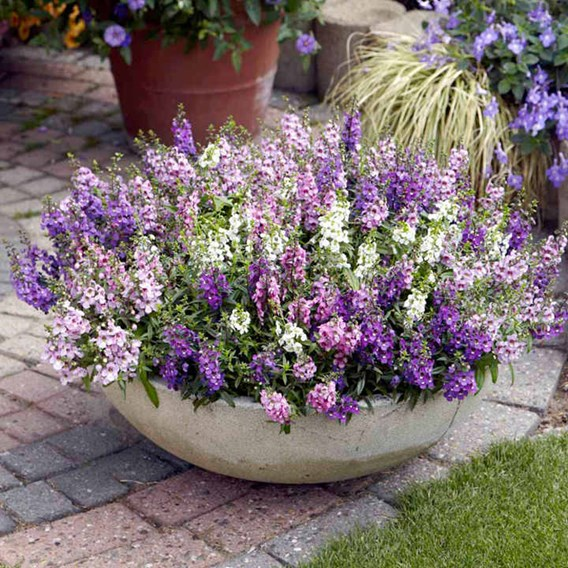 Angelonia Seeds - Serena Mix