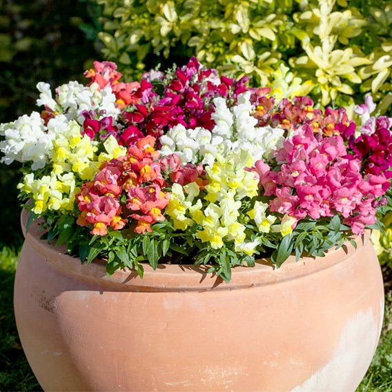 Appeal Mixed Antirrhinum Plants