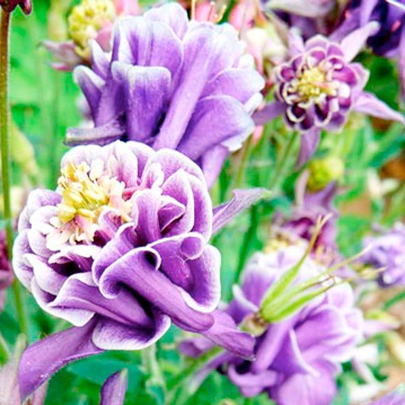 Aquilegia - Winky Double Dark Blue White