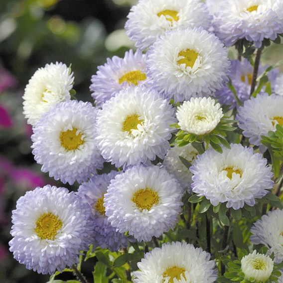 Aster - Matsumoto White Tipped Blue
