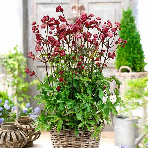 Astrantia Plant - Star of Love