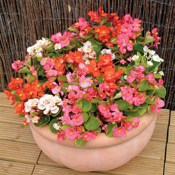 Begonia Plants - F1 Heaven Mixed