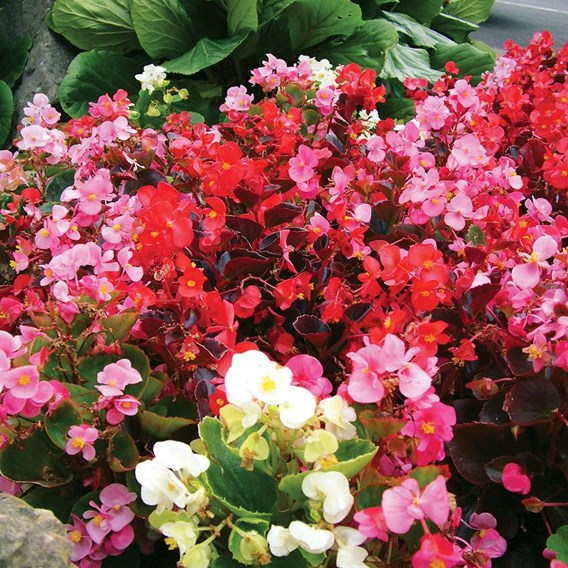 Begonia Pellets - Super Hybrid Mixed F1
