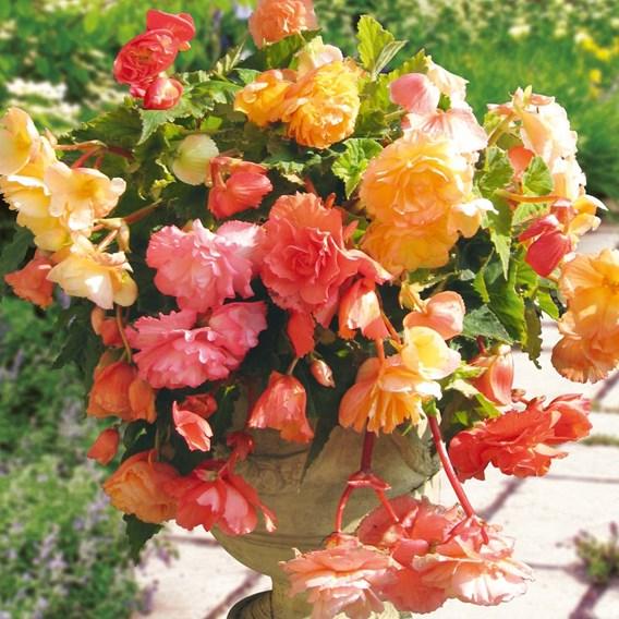Begonia Tubers - Parisienne