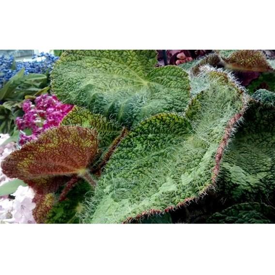 Begonia Sizemoreae