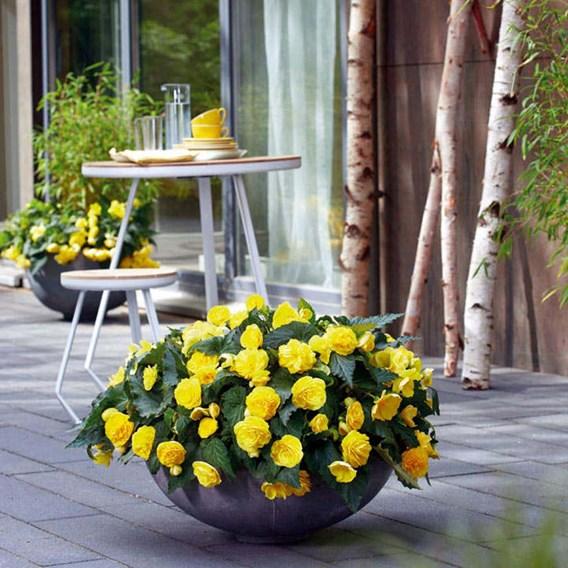 Begonia Nonstop Joy Yellow (3)