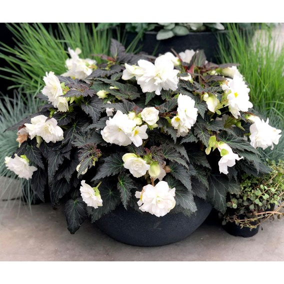 Begonia Nonstop Mocca White (3)
