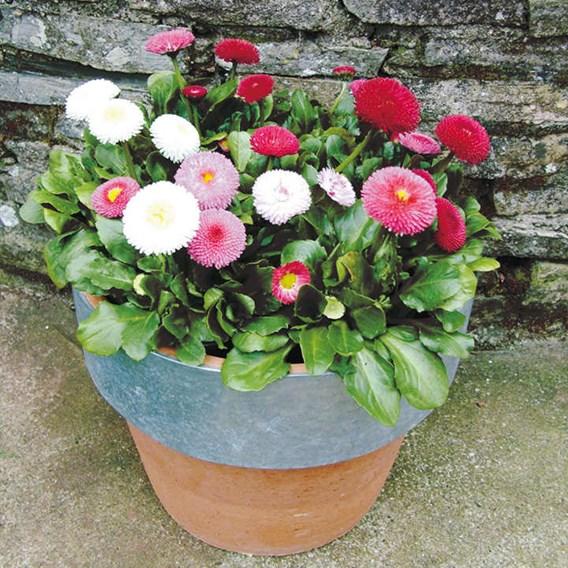 Bellis Potted Plants - Spring Star Mix