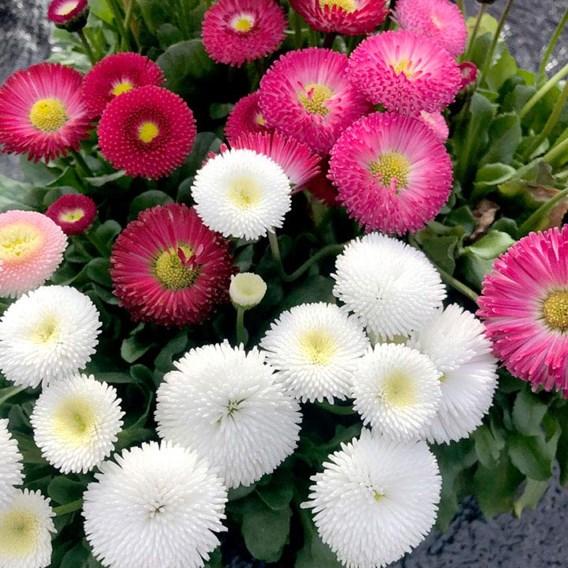 Bellis Plants - Bellisima Mixed