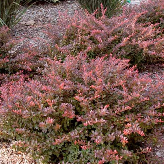 Berberis thunb. 'Cabernet'® FIRST EDITIONS®