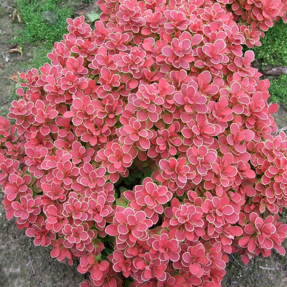 Berberis thunb. Ruby Star