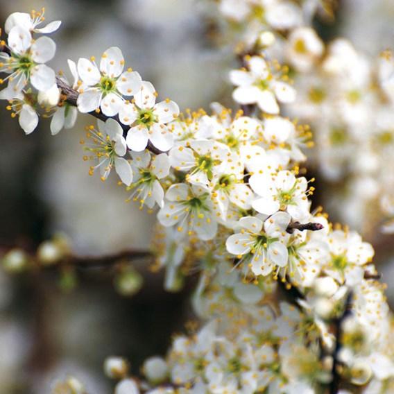 Prunus spinosa (Blackthorn) Plant