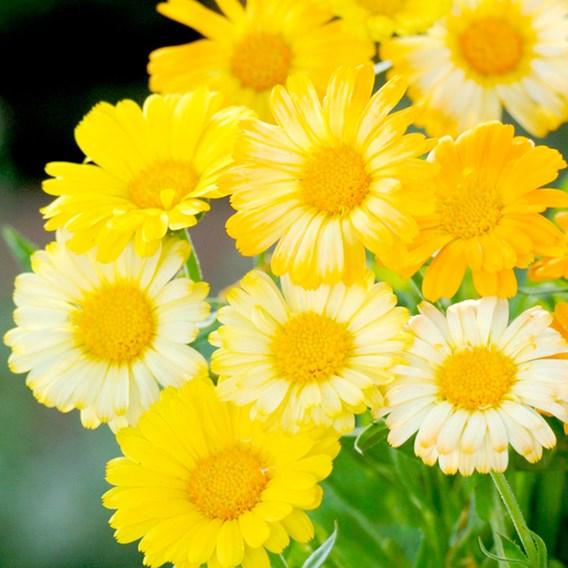 Calendula - Citrus Daisy Mix