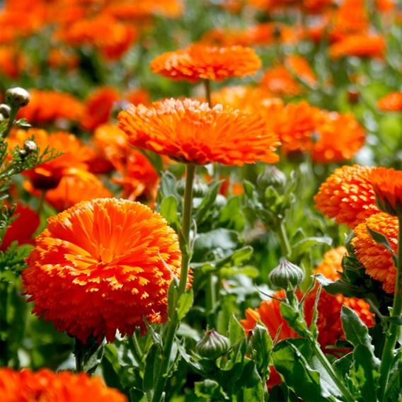 Calendula - Orange King