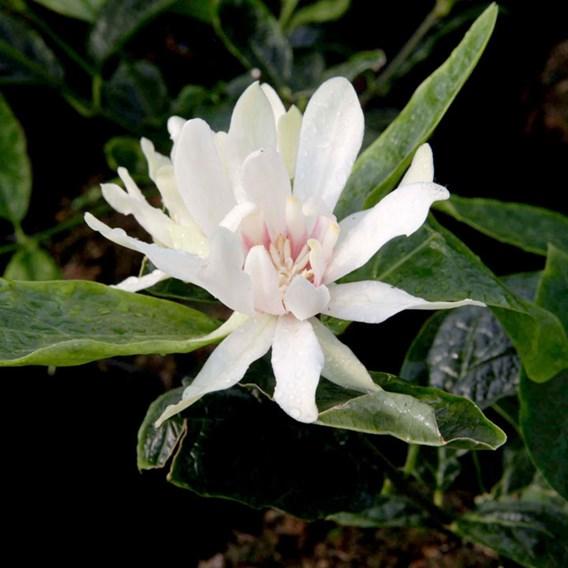 Calycanthus 'Venus' ®