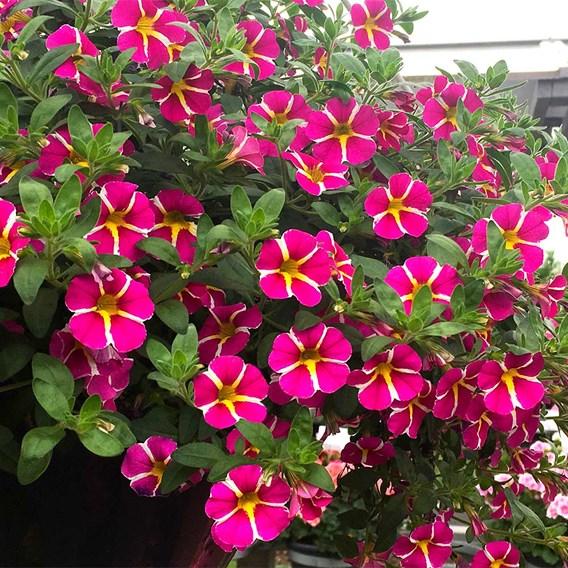 Calibrachoa Rave Pink (3)