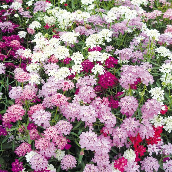 Candytuft Seeds - Candycane Mixed
