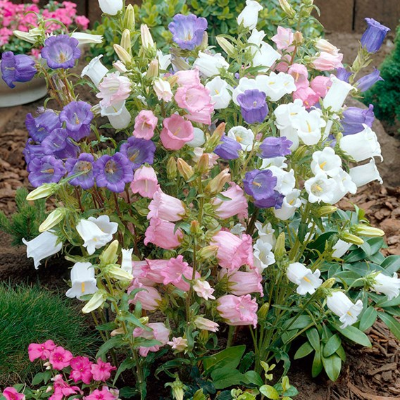 Canterbury Bell Seeds - Cup And Saucer Mixed
