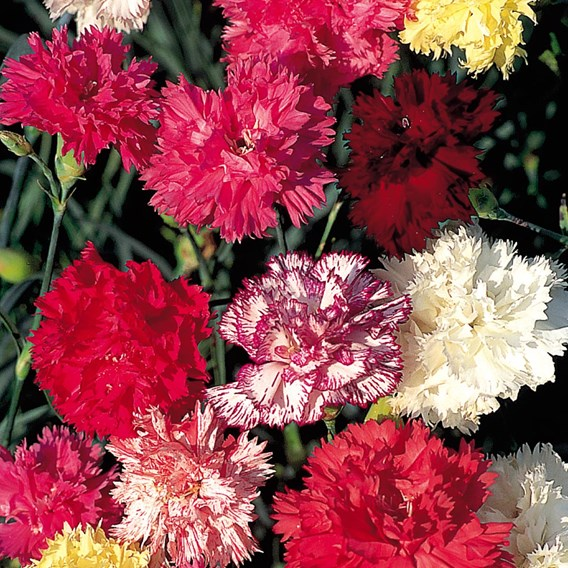 Carnation Seeds - Chabaud Enchantment Mix