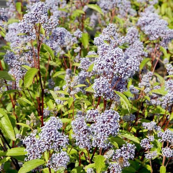 Ceanothus pallidus Marie Bleu®