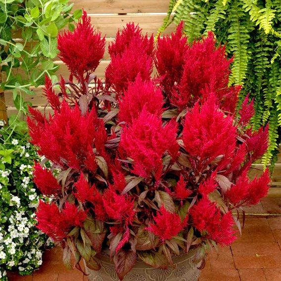 Celosia Dragons Breath (10)