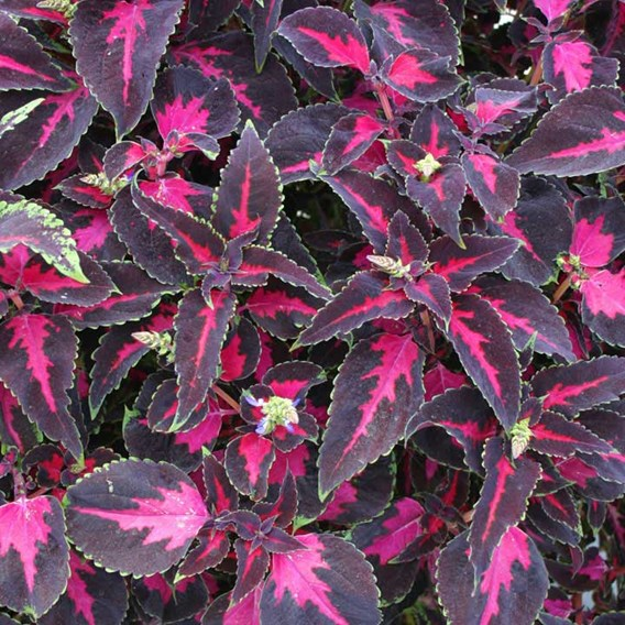 Coleus Plant - Scarlet Ribbon