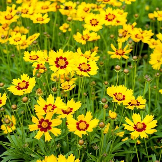 Coreopsis Plants - Sunkiss