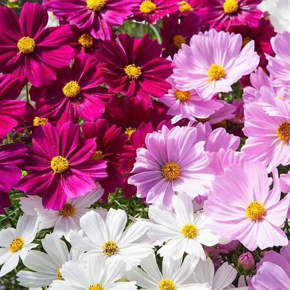 Cosmos Potted Plant - Apollo Mix