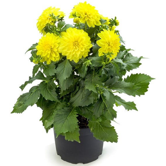 Dahlia Labella Maggiore Yellow 2Ltr