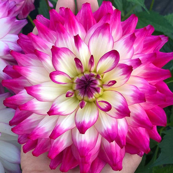 Dahlia Labella Maggiore Rose Bicolour 2Ltr