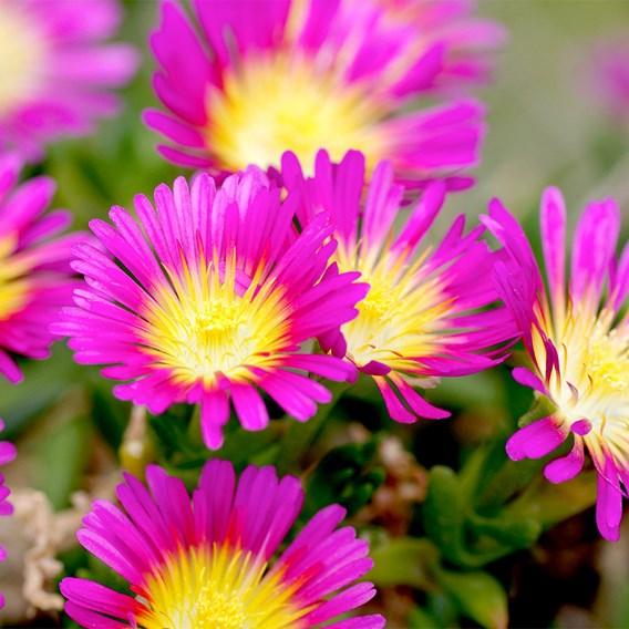 Delosperma Plant - Wheels of Wonder Hot Pink Wonder