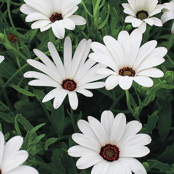 Dimorphotheca Seeds - White Lady