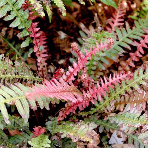 Doodia aspera Plant - Rough Ruby