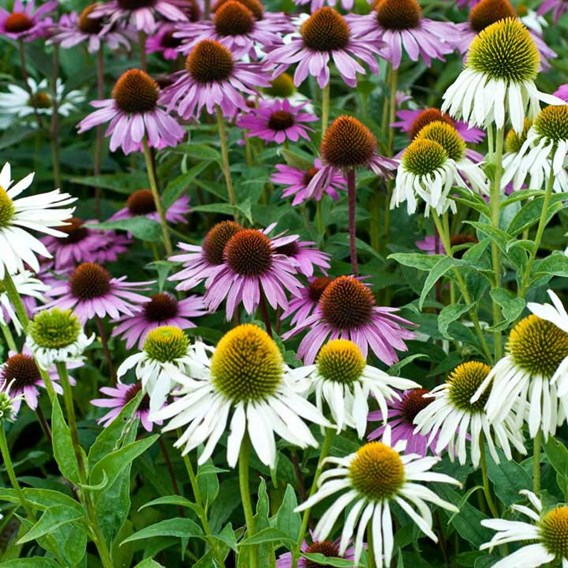 Echinacea Mixed Feelings