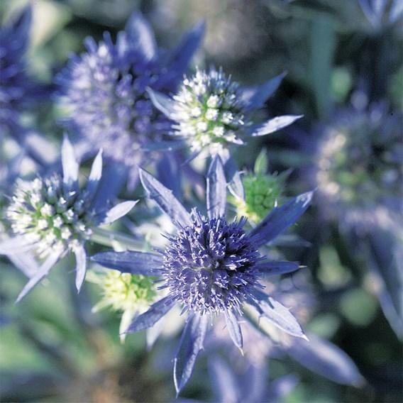 Eryngium Plants - Blue Hobbit
