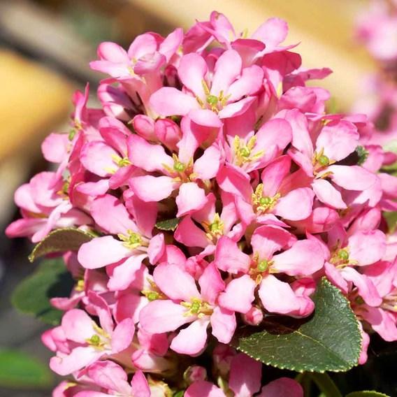 Escallonia laevis Pink Elle