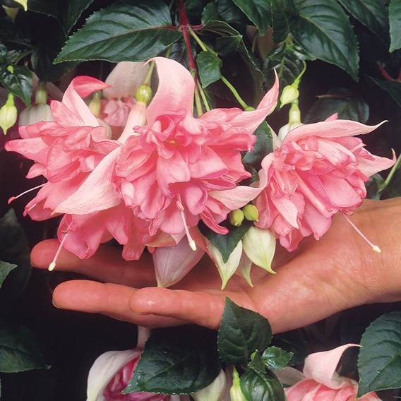 Fuchsia Plants - Giant Flowered Collection