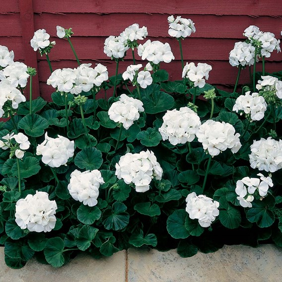 Geranium Seeds - Vista Series White F2