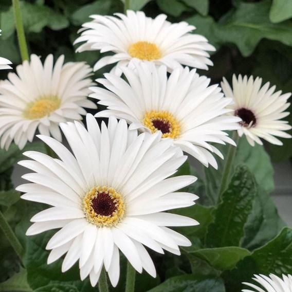 Gerbera Plant - Sweet Frosting