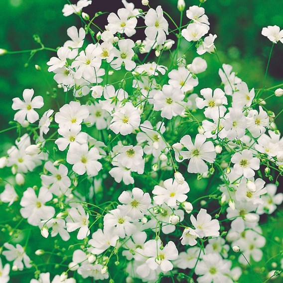 Gypsophila Seeds - Elegans Alba, Covent Garden Strain