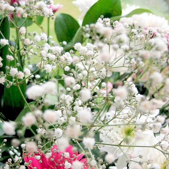 Gypsophila Covent Garden Mixed