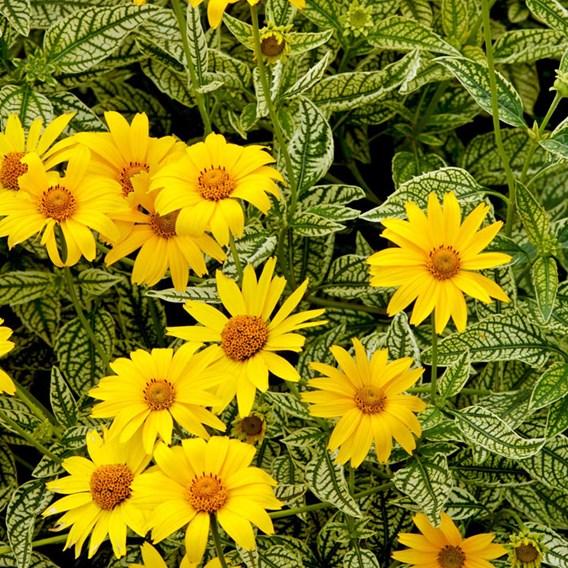 Heliopsis Potted Plant - Sunburst