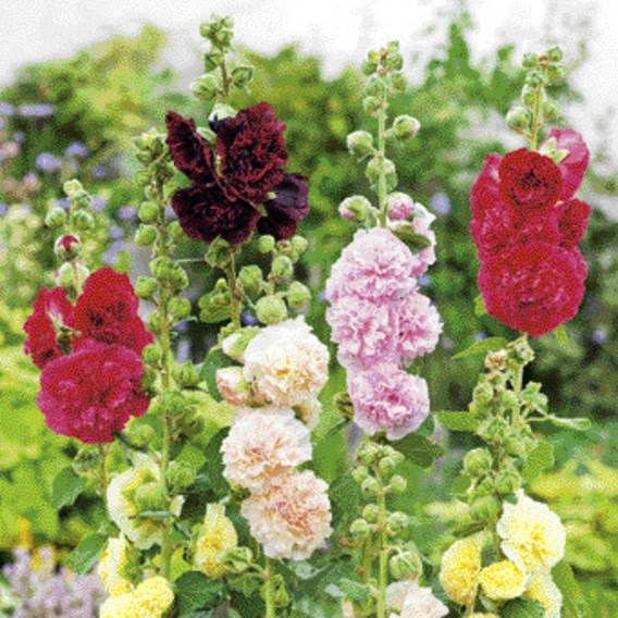 Alcea Plants - Chaters Double Mix