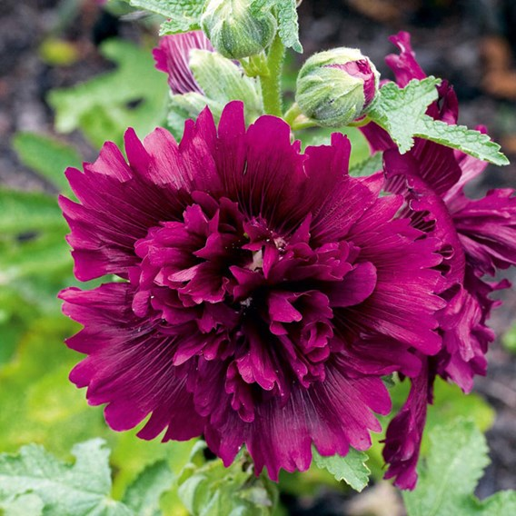 Hollyhock Seeds - Queeny Purple