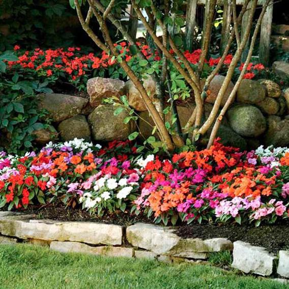 Impatiens Plug Plants - New Guinea Divine