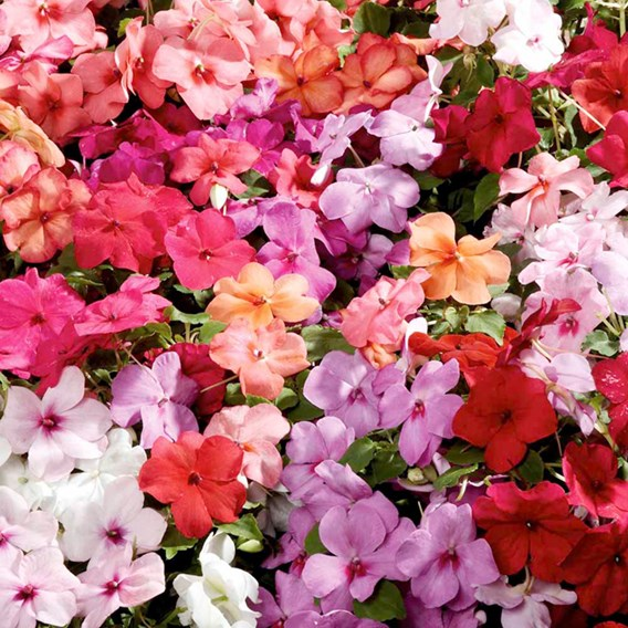 Impatiens Seeds - Dobies Super Hybrid Imperial Mixed F1
