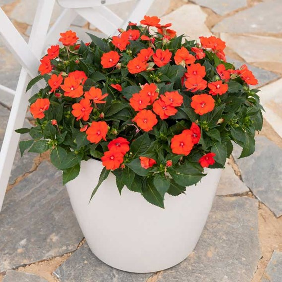 Impatiens Sunpatiens Plant - Electric Orange