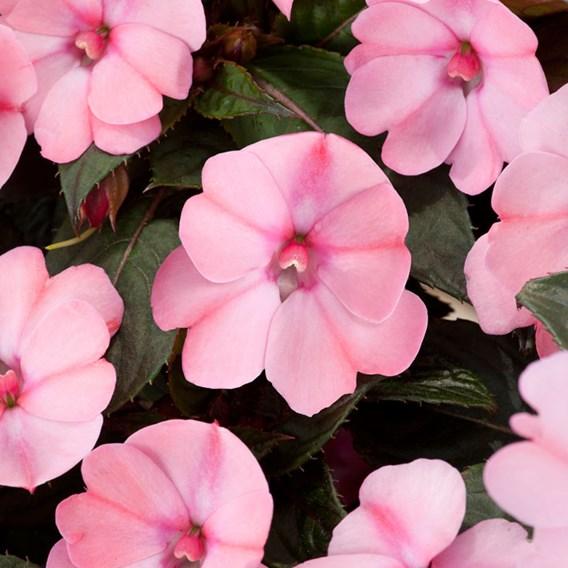 Impatiens Sunpatiens Plant - Blush Pink