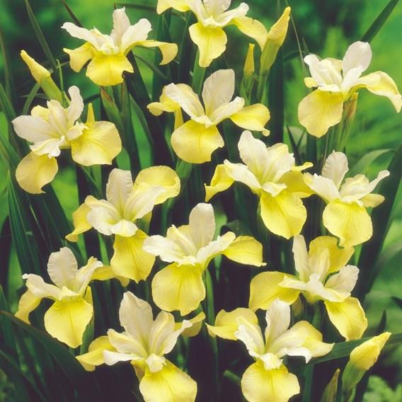 Iris Sibirica Butter and Sugar
